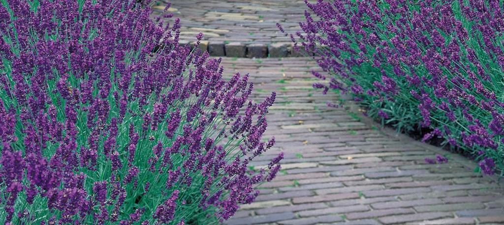 Bodembedekker met bloemen: Lavendel Munstead