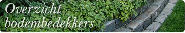 Bodembedekkers planten kopen