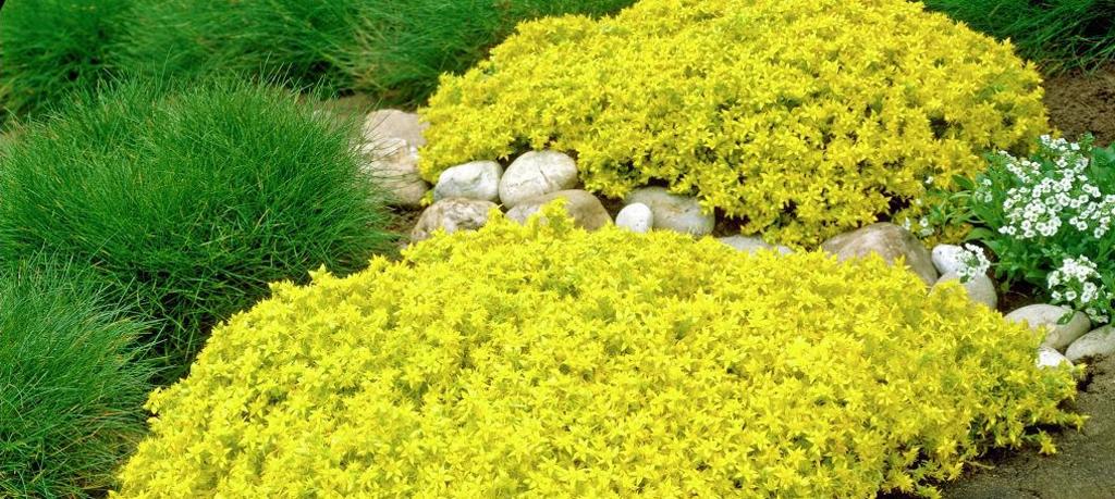 Vetplant Sedum Yellow Queen als bodembedekker