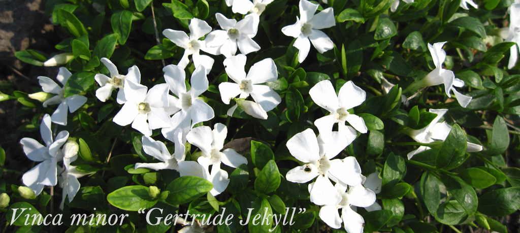 Winterharde bodembedekkers met witte bloemen