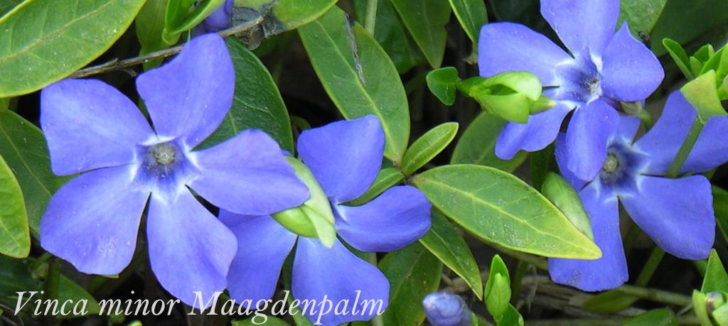 Vinca minor Winterharde bodembedekker met bloemen